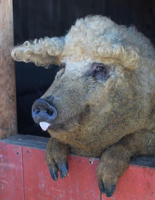 porcos-peludos_02
