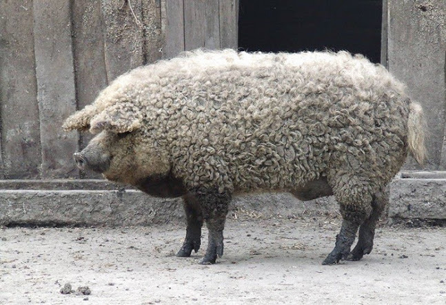 porcos-peludos_03