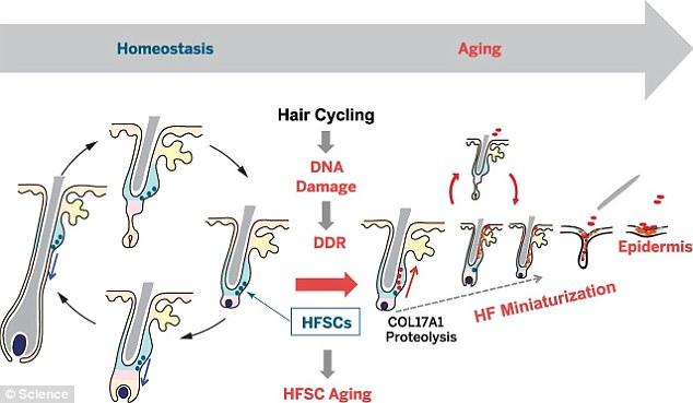 celulas-tronco-confusas-cabelo