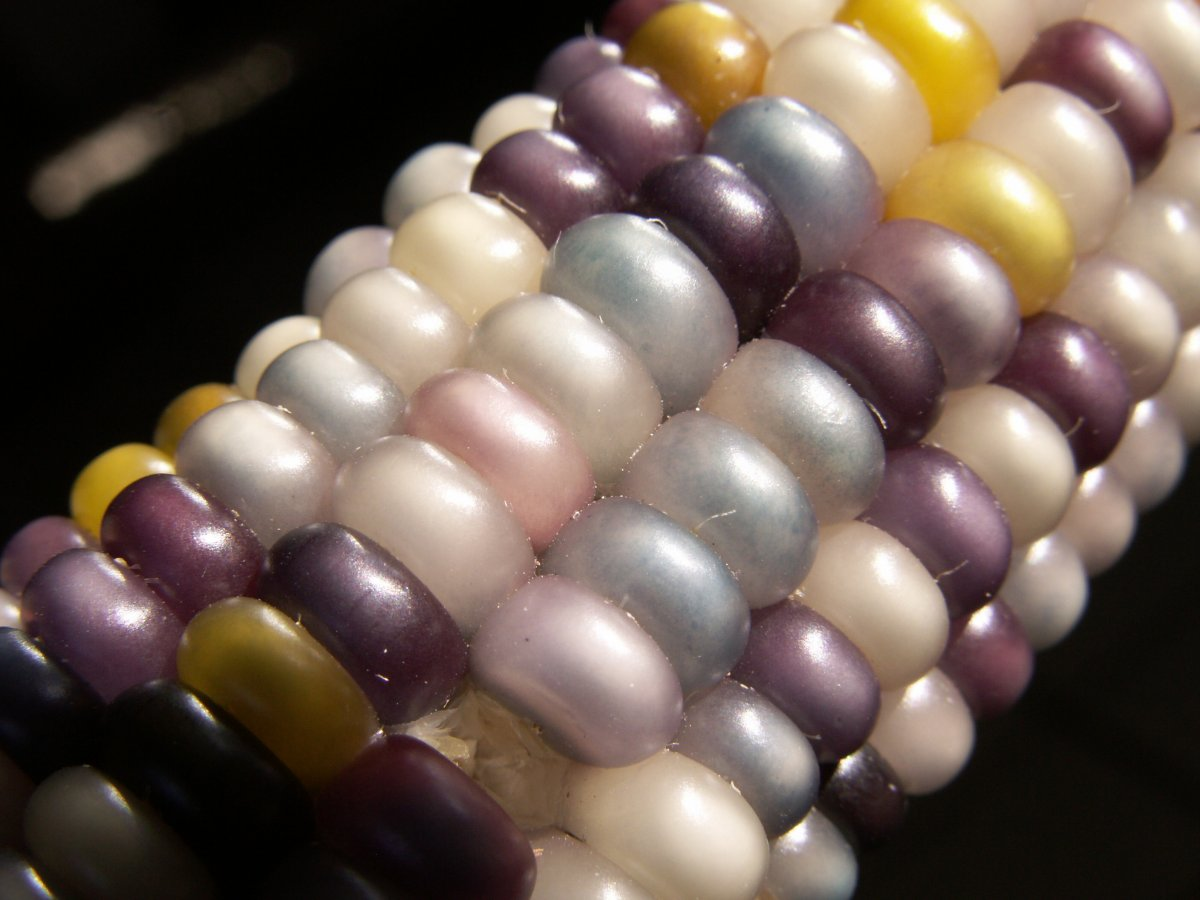 milho-colorido_09