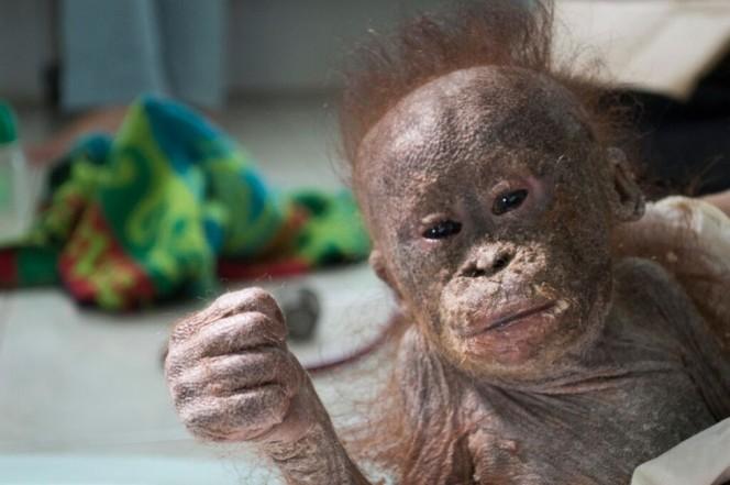 socorristas-encontram-orangotango-quase-mumificado