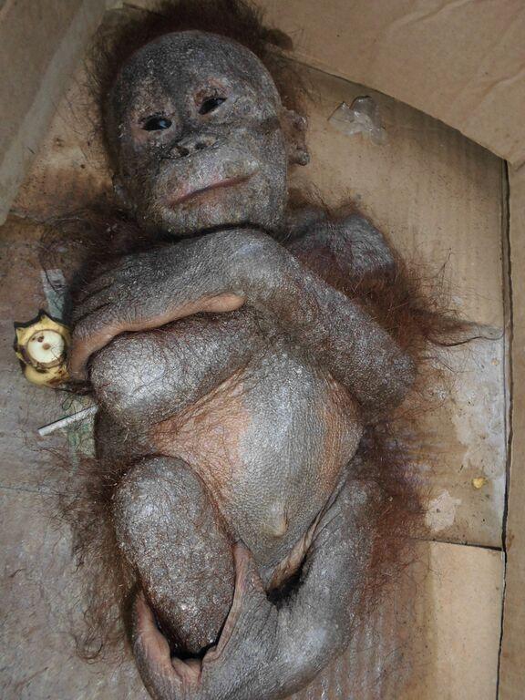 socorristas-encontram-orangotango-quase-mumificado_2