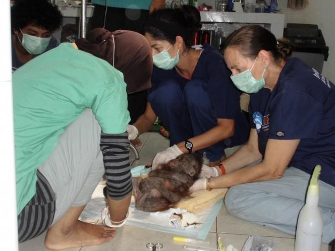 socorristas-encontram-orangotango-quase-mumificado_4