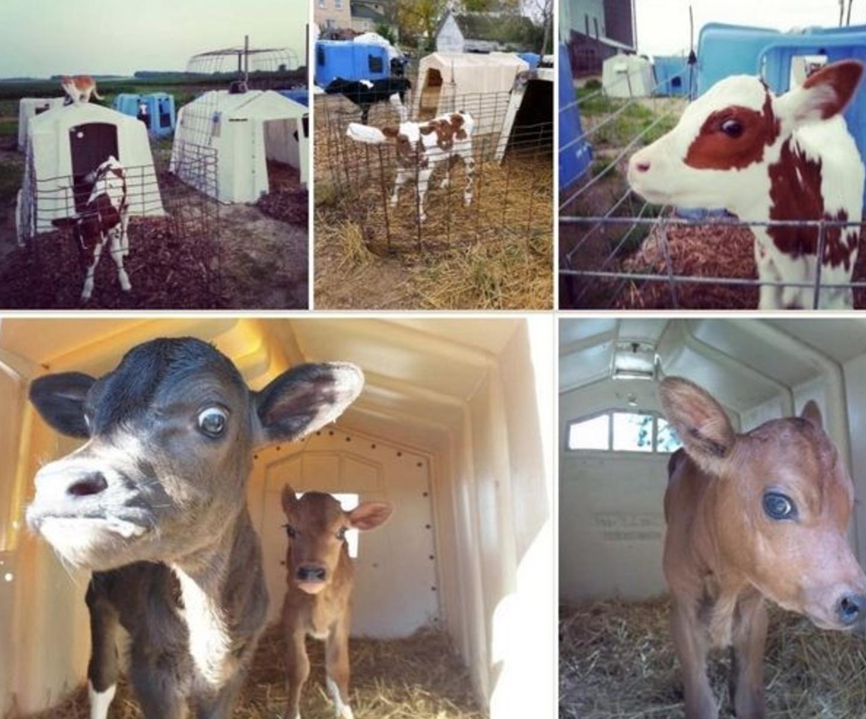 crueldade-leite_4