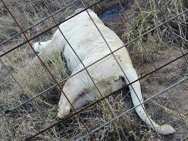 leoes-decapitados_03