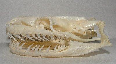 anaconda-eaten-alive-2