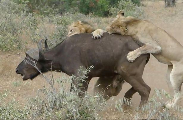 bufalo-salvando-bufalo_1