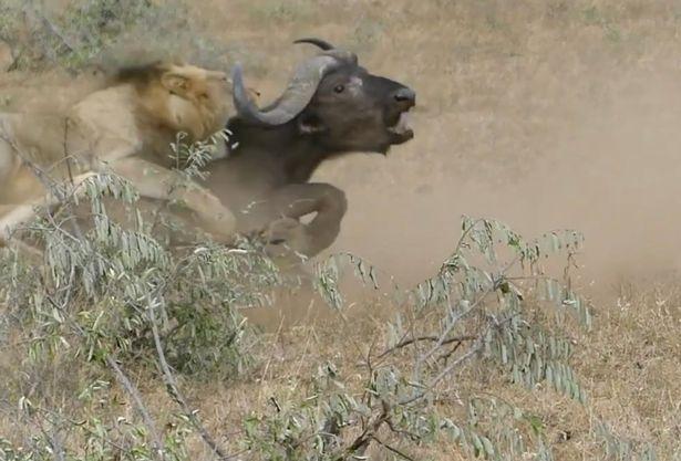 bufalo-salvando-bufalo_2