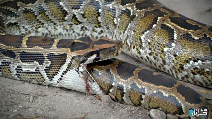 cobras-que-comeram-mais-do-que-deviam-6
