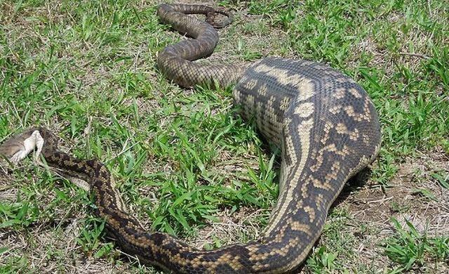 cobras-que-comeram-mais-do-que-deviam-9