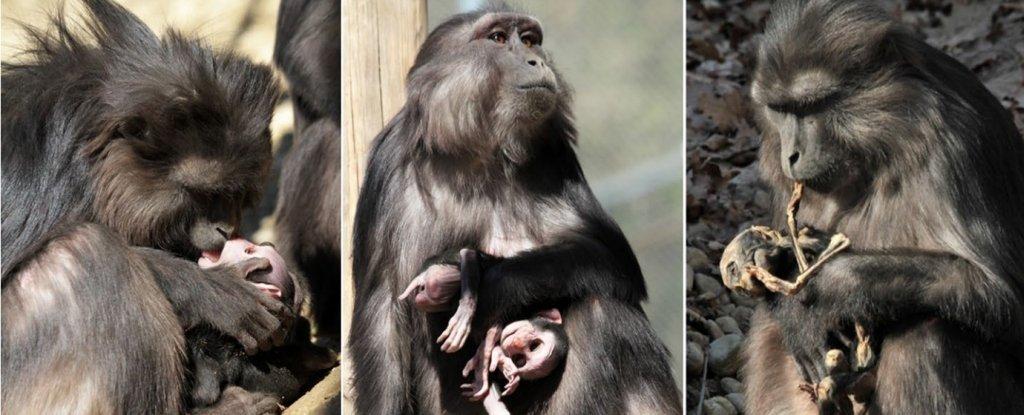 macaca-comendo-filhote-mumificado_1