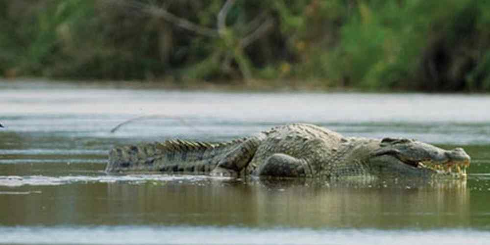 gustave-o-crocodilo_1