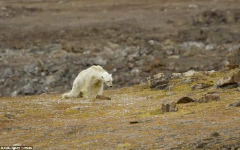 urso-morrendo-de-fome