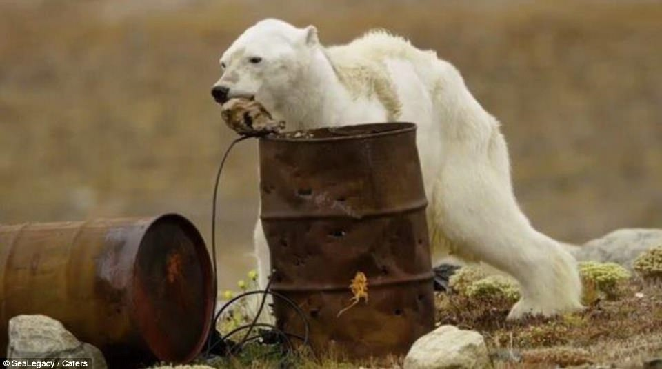urso-morrendo-de-fome_1